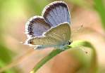Eastern Tailed-Blue Butterfly