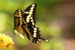 GiantSwallowtail Butterfly